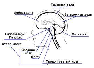 Нервы в мозгу отвечающие за сексуальную деятельность